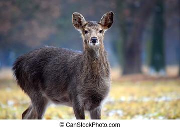 女性, dybowskii, 鹿