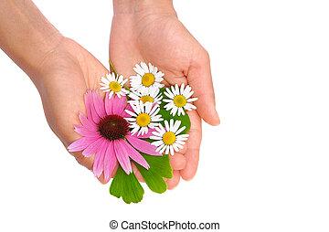 女, カモミール, -, 若い, 銀杏, ハーブ, echinacea, 手を持つ