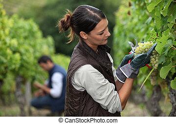 女, ブドウ, 収穫する