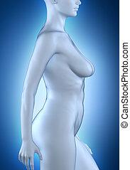女, 中に, 解剖, ポジション, 白, 横の視野