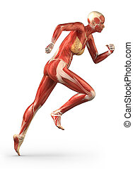 女, 側面, システム, 筋肉, 解剖学, 動くこと, 光景
