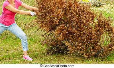 女, 取り去る, 乾かされた, thuja, 木, から, 裏庭