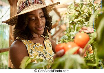 女, 庭, 熟した, 産物, パッティング, 温室, バスケット, 新たに, 支部, 味方, トマト, 収穫する