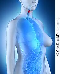 女, 甲状腺, 解剖学