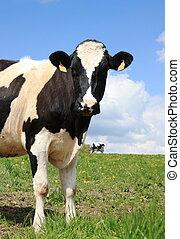 好奇, 牛奶場母牛