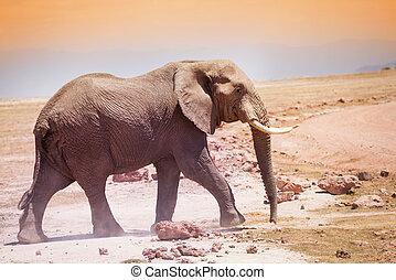 威厳がある, アフリカの象, 中に, ∥, サバンナ, の, kenya