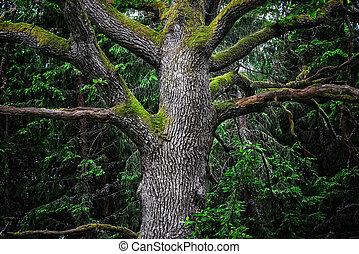 威厳がある, 木, オーク, 細部, 森林
