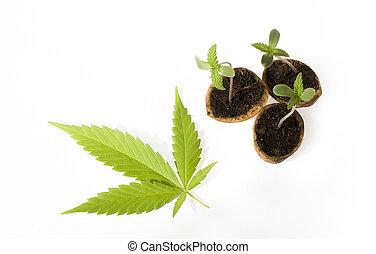 嬰孩, cannabis植物, vegetative, 階段, ......的, 大麻, 生長