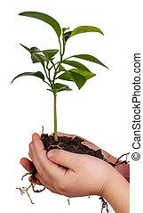子供, 手, 保有物, 緑のプラント, 中に, 土壌, 隔離された, 白
