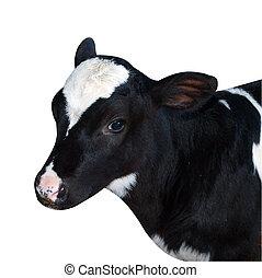 子牛, friesian