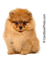 子犬, pomeranian