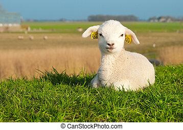 子羊, かわいい, 春