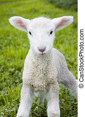 子羊, 柔らかい
