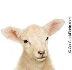 子羊, 肖像画