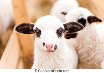 子羊, 農場, 支部, イースター