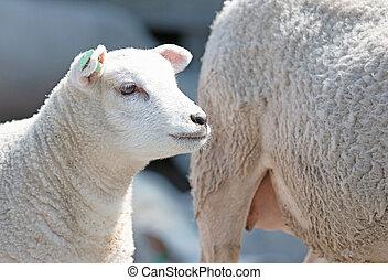 子羊, sheep, 彼女, 母