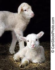 子羊, sping
