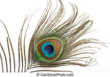 孔雀羽毛, 向上關閉