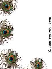 孔雀羽毛, 美麗