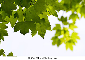 季節的, クローズアップ, 葉, 木, 緑の背景, かえで