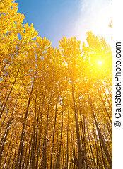 季節, 白楊, 樹, 秋天