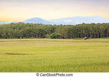 季節, 米の 水田, 黄色, 収穫する