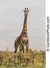 孤独, キリン, 中に, amboseli 国立公園, kenya.