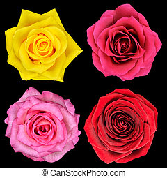 完全, 花, バラ, 隔離された, 4, 黒