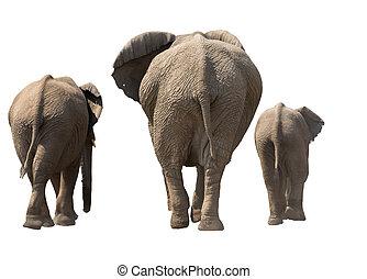 家族, の, 象, 後方, 上に, ∥, 歩きなさい, 隔離された, 白, ba