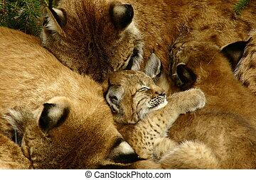 家族, オオヤマネコ