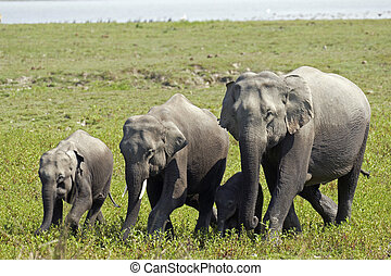 家族, 象