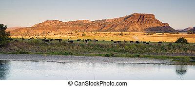 家畜, angus, 牧場, 黒, 牛, 川, 砂漠