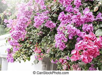 家, 同时,, 花园, 概念, 在中, bougainvillea, 或者, 纸花