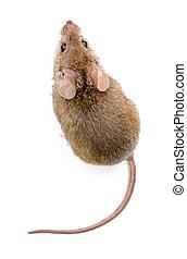 家, (mus, マウス, musculus)