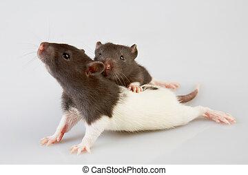 實驗室, 老鼠