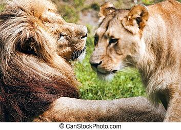 対, ライオン, ロマンチック