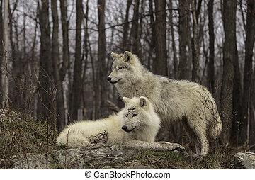 対, 北極 オオカミ
