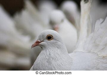 対, 白, 鳩