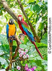 対, 鳥, カラフルである, macaw