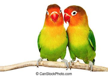 對, 情侶鸚鵡