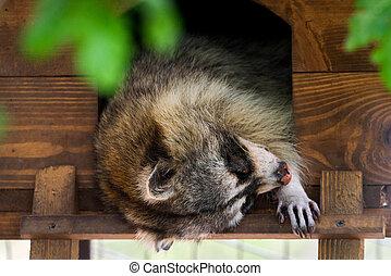 小さい, 睡眠, アライグマ, 木製である, 休む, 家