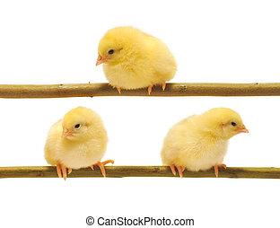 小さい, 鶏, 黄色