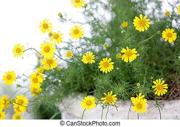 小さい, 黄色, dahlberg, デイジー, 花, 咲く