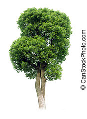小さい, tree(camphor)