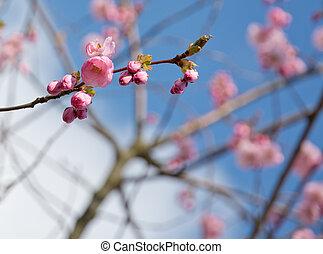小枝, さくらんぼ, ピンク, 花