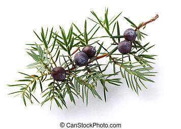 小枝, ベリー, juniper