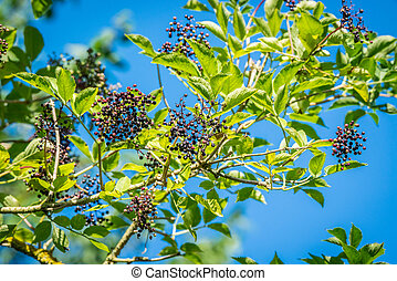 小枝, elderberries, 自然