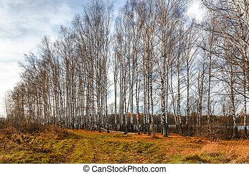 小樹林, 秋天, 樺樹