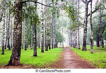 小樹林, 薄霧, 秋天, 樺樹