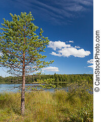 小的树, 湖, 松树